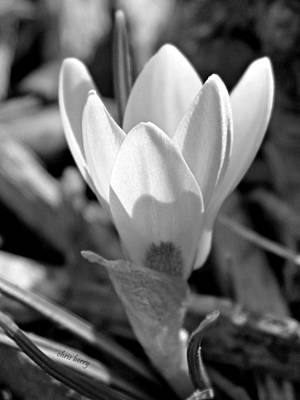 Bowl Forms Photograph - Turkish Crocus by Chris Berry