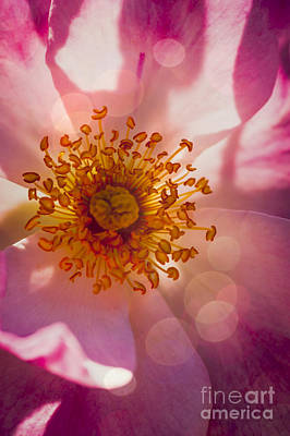 Anthers Photograph - Turkish Delight by Jan Bickerton