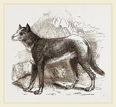 Turkman Watch-dog Art Print by Litz Collection