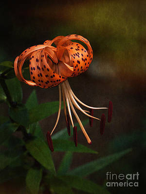 Photograph - Turk's Cap Lily II by Lee Craig