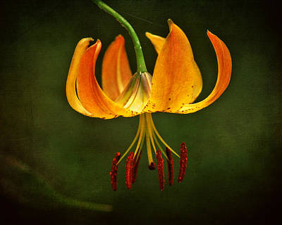 Photograph - Turk's Cap Lily by TnBackroadsPhotos
