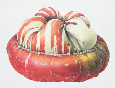 Food And Beverage Drawing - Turks Turban Squash by Margaret Ann Eden