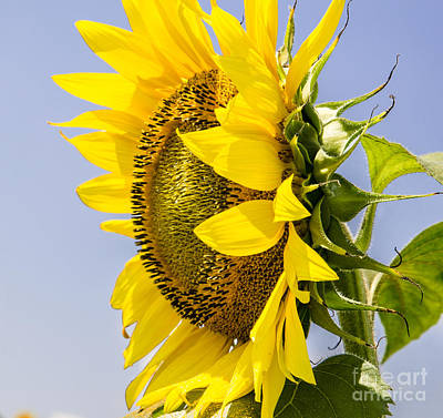 Photograph - Turn Away Sunflower by Paul Mashburn