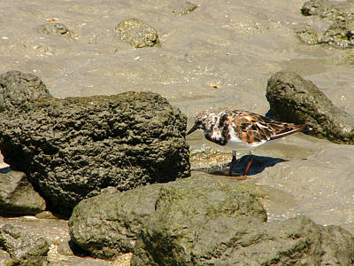 Photograph - Turnstone. Sebastian Inlet. by Chris  Kusik