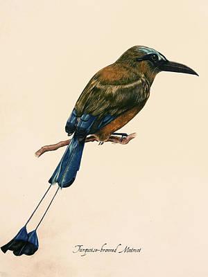 Turquoise-browed Motmot Art Print by Rachel Root