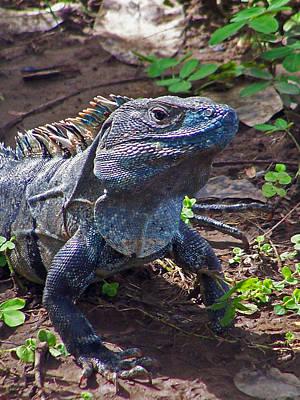Reptiles Photograph - Turquoise Iguana by Jennifer Robin