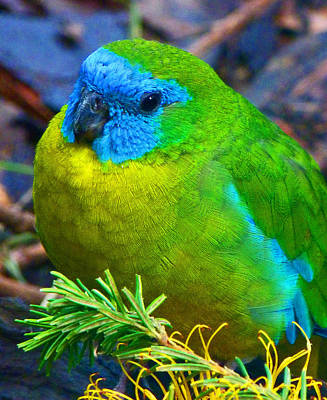 Photograph - Turquoise Parrot by Margaret Saheed