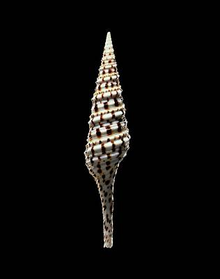 Cut Out Photograph - Turrid Sea Snail Shell by Gilles Mermet