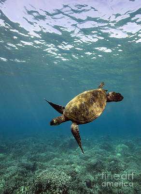 Photograph - Turtle At Makena by David Olsen