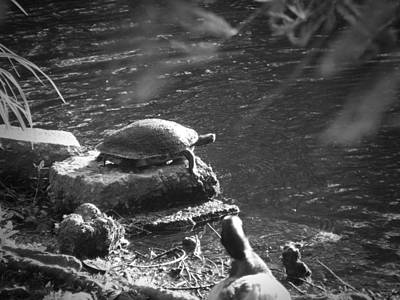 Photograph - Turtle Bw by Nelson Watkins