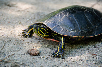 Photograph - Turtle by Cassie Marie Photography