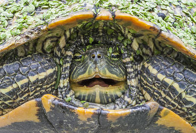 Turtle Covered With Duckweed Art Print