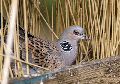 Norfolk Wall Art - Photograph - Turtle Dove by Bob Gibbons/science Photo Library