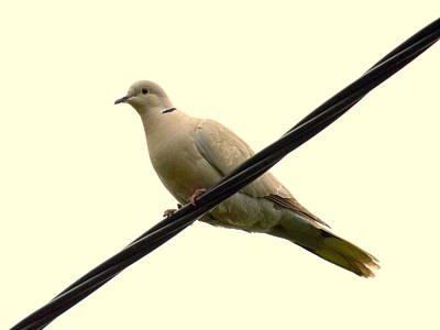 Dove Photograph - Turtle Dove by Bishopston Fine Art