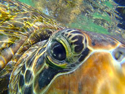 Reptiles Royalty-Free and Rights-Managed Images - Turtle Eye by Carey Chen