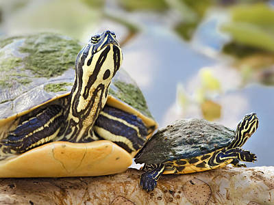 Cooter Photograph - Turtle Family by Patrick M Lynch