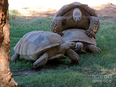 Phoenix Zoo Photograph - Turtle Harem by Mary Deal