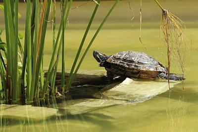 Pond Turtle Photograph - Turtle by Heike Hultsch
