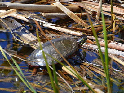 Photograph - Turtle In The Creek by Linda Rae Cuthbertson