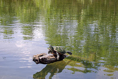 Photograph - Turtle In The Sun by Jeanne Donnelly