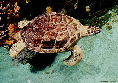 Photograph - Turtle In The Water by Kimmary MacLean