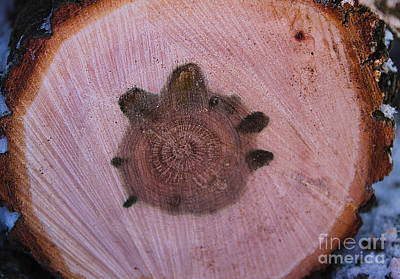 Photograph - Turtle In The Wood by Nina Silver