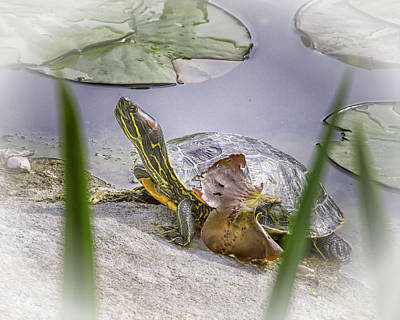 Photograph - Turtle by Jeanne Hoadley