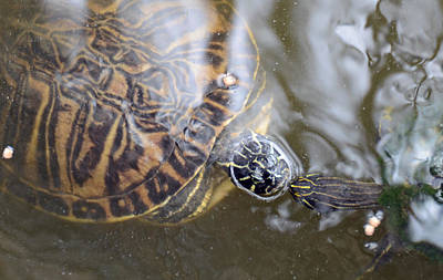 Turtle Kiss Art Print by Julie Cameron
