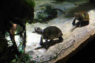 Turtle - National Aquarium In Baltimore Md - 121218 Art Print by DC Photographer