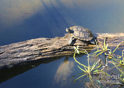 Photograph - Turtle On Log by Carol Groenen
