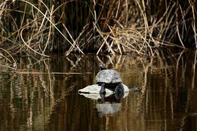 Turtle On Turtle Art Print