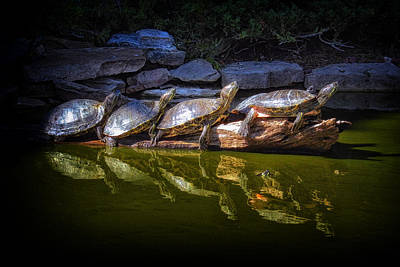 Photograph - Turtle Parade At Alligator Adventure by Bill Swartwout