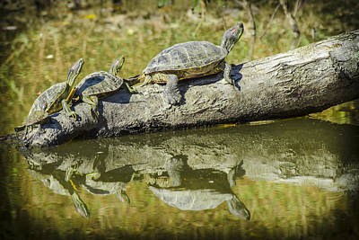 Photograph - Turtle Reflections by Bradley Clay