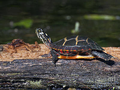 Photograph - Turtle Sun Bathing by Glenn Gordon