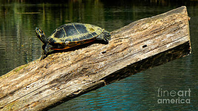 Turtle Sunning On The Log Art Print