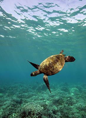 Photograph - Turtle Swimming by David Olsen