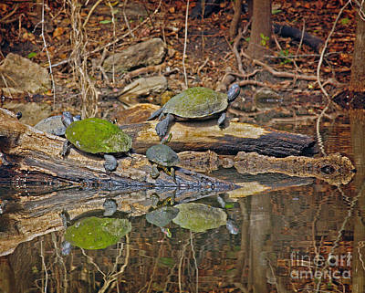 Photograph - Turtle Trio by David Cutts