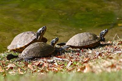Photograph - Turtle Trio by Jeanne Kay Juhos