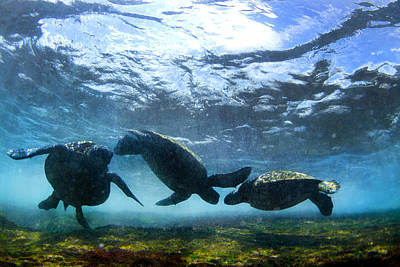 Photograph - Turtle Trio by Sean Davey