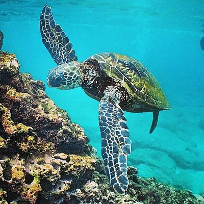 Reptiles Wall Art - Photograph - #turtle #turtles #honu #hawaiistagram by Brian Governale