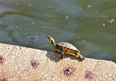 Photograph - Turtle Youngster by Jeanne Kay Juhos