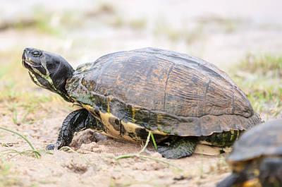 Photograph - Turtles Feedign On The Beach by Alex Grichenko