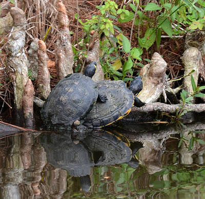 Photograph - Turtles  by Julie Cameron