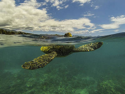 Hawaiian Green Sea Turtle Photograph - Turtles Need Air Too by Brad Scott