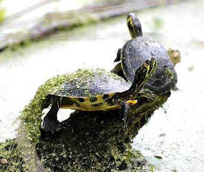 Photograph - Turtles Sunning Among Duckweed by Jeanne Kay Juhos