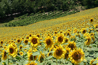 Tuscan Sunflowers Photograph - Tuscan Sunflowers by Holly C. Freeman