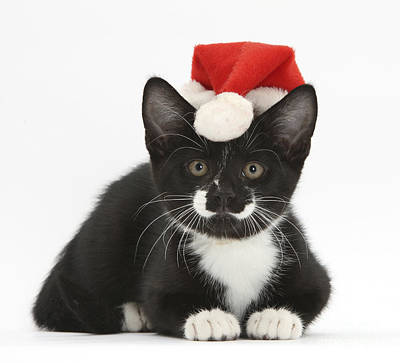 Photograph - Tuxedo Kitten In Christmas Hat by Mark Taylor