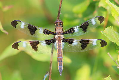 Photograph - Twelve Spotted Skimmer Dragonfly by John Burk