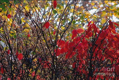 Photograph - Twiggy Reds And Golds by Barbara Plattenburg