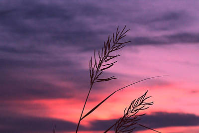 Photograph - Twilight Reeds by Pete Federico